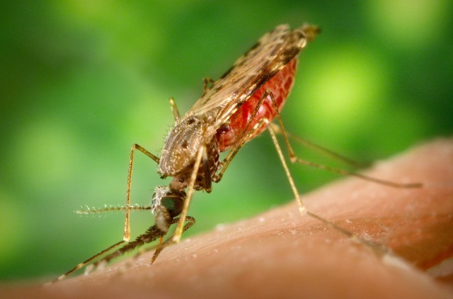 Anopheles mosquito, the species used in this study. Found in humid climates and likely to face regular barrages of raindrops.