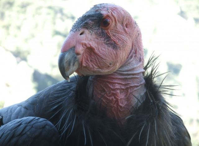 Endangered California condors still face lead poisoning threat