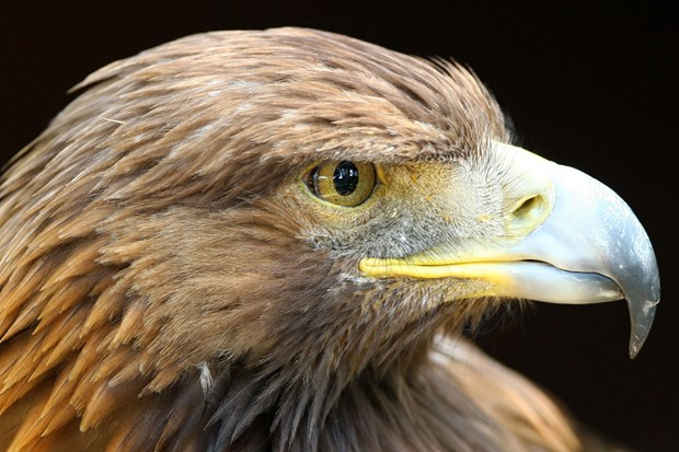 Scottish conservation group maps the decline of British eagles
