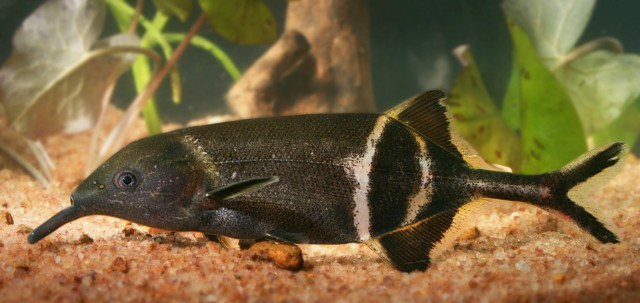 The elephantnose fish (Gnathonemus petersii) lives in muddy water and has poor vision.