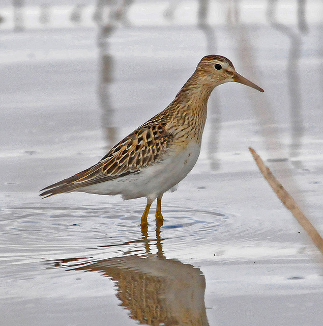 Male sandpipers do better by choosing sex over sleep