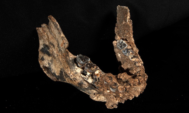 A recently discovered lower jaw helps clarify evolutionary relationships.