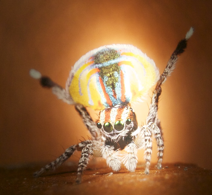 A peacock spider shows off four of its eyes, along with some impressive coloration in one of the images.