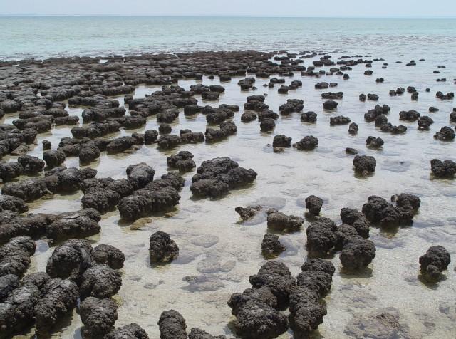 Modern-day stromatolites in Australia.