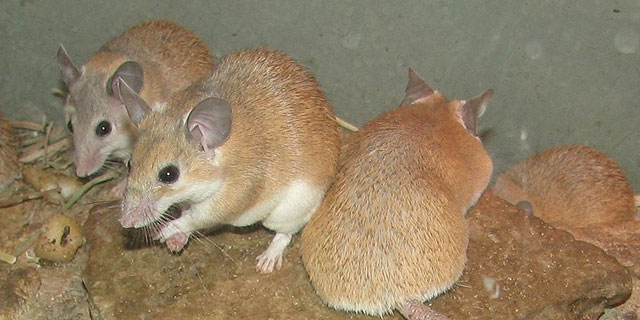 Spiny mice (Acomys dimidiatus) at the Louisville Zoo.