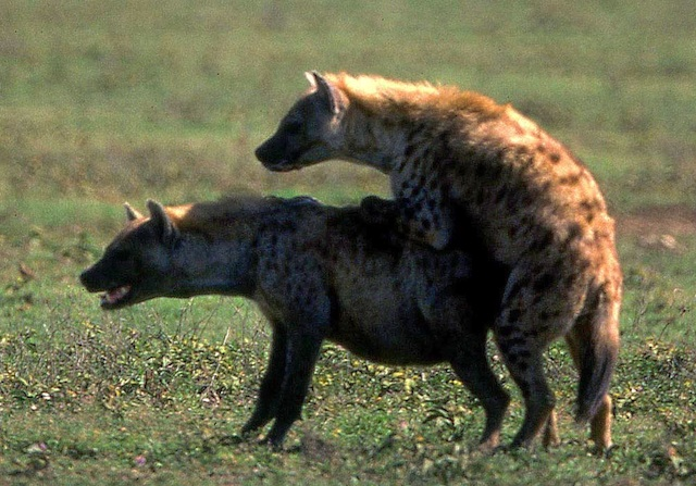 Spotted hyenas put penis and pseudopenis to use.