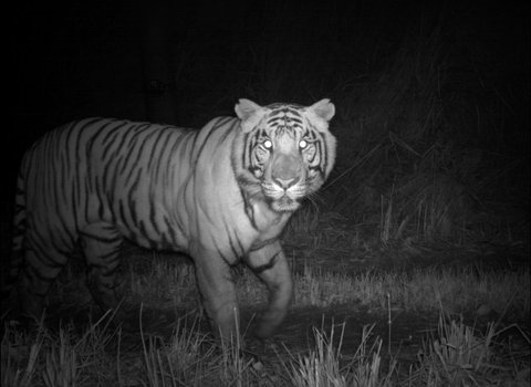 Tigers take to the night in order to thrive among humans
