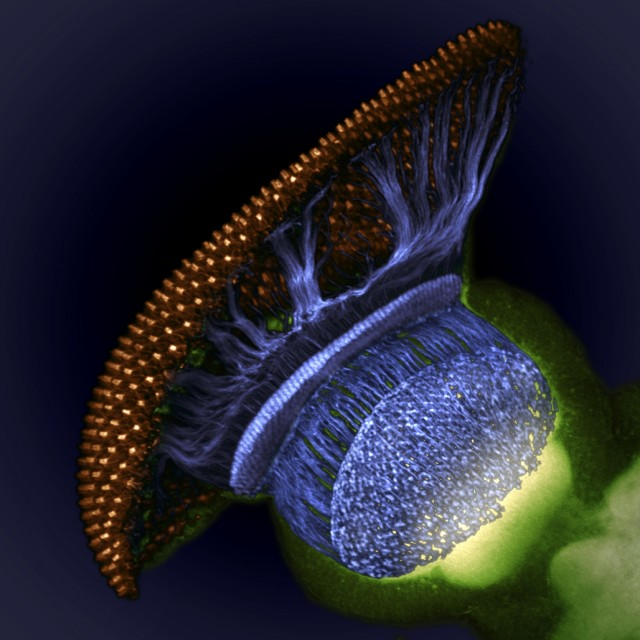 Dr. W. Ryan Williamson of the Howard Hughes Medical Institute dissected out a developing fly eye from a pupal stage Drosophila.