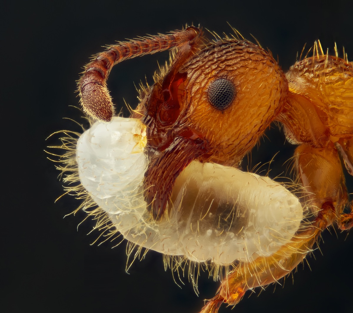 Geir Drange from Norway captured this ant carrying its larva.
