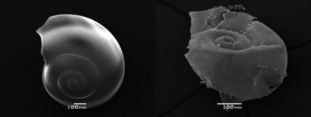 Scanning Electron Microscope images of pteropod shells collected for this study. Intact, at left, and showing dissolution damage, at right.