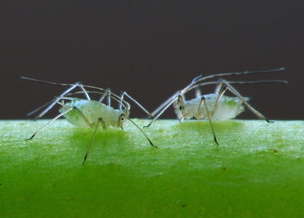 Aphids can reproduce asexually when needed.