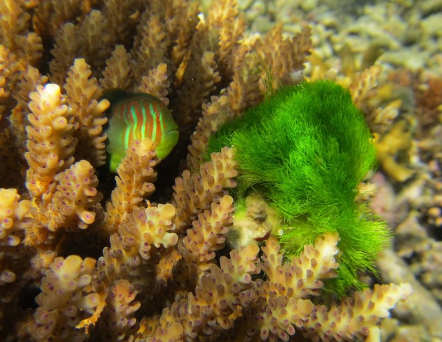 A goby eyes up some algae that's intruding on its coral home.