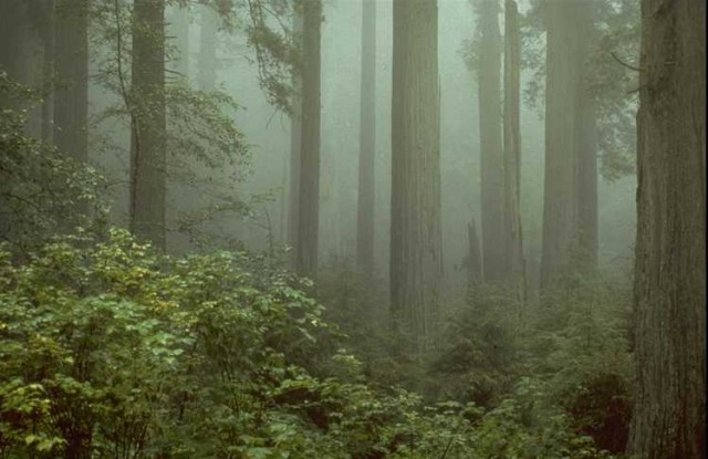 The coastal redwoods of California, some of the largest trees out there.