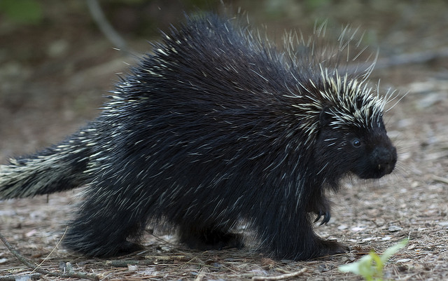 Prickly porcupine quills may hold clues for medical technology