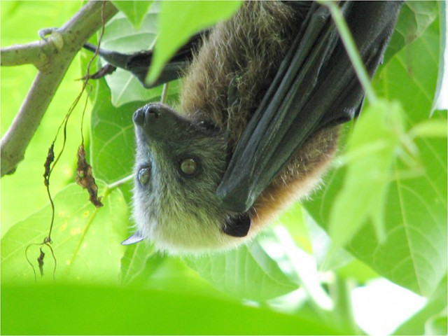A flying fox, closely related to the species that had its genome sequenced.