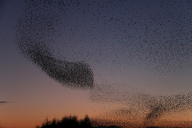A flock of starlings is called a murmuration.
