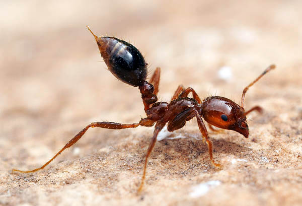 A fire ant shows off one of the reasons for its low popularity.