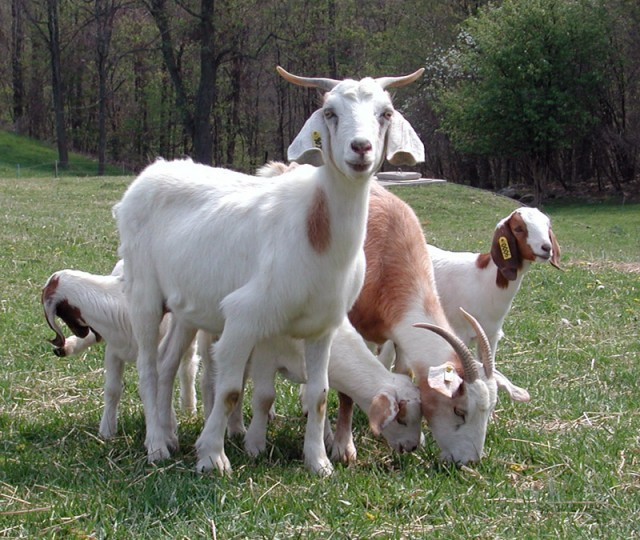 These happy looking goats would undoubtedly not run afoul of USDA regulations.