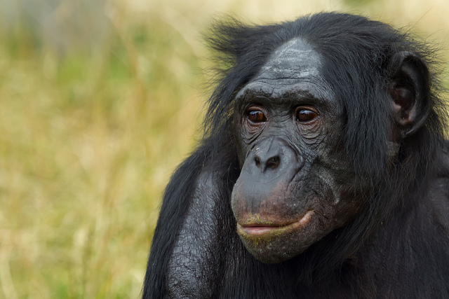 Bonobos are closer to us in sexual behavior than one might think.
