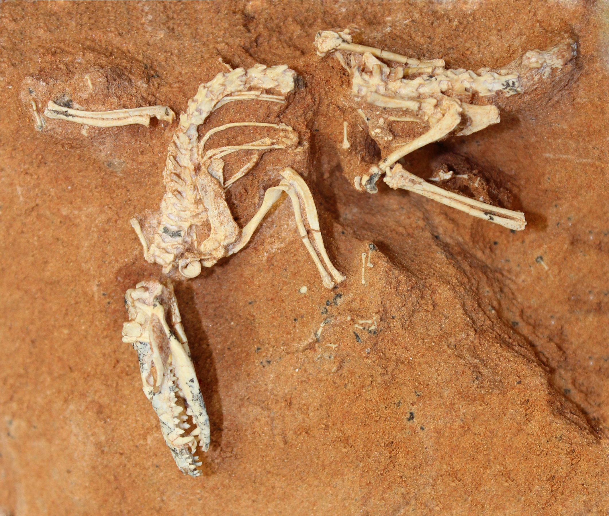 A mammal that dates to the Cretaceous and has a mix of marsupial and placental traits.