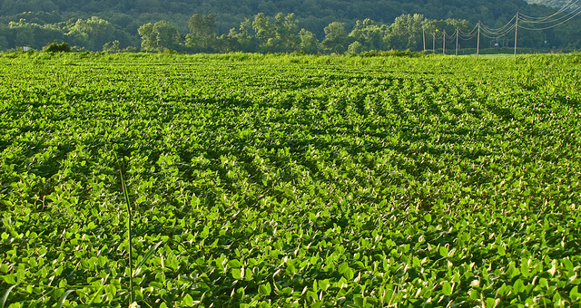 Fields of soybeans