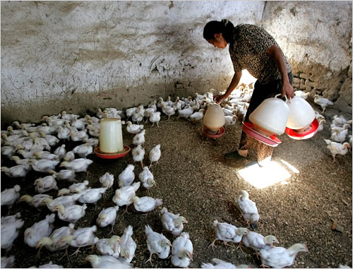 A Chinese worker tends to chickens, a potential source of the new virus.