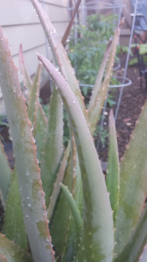 A picture of a succulent taken outdoors.