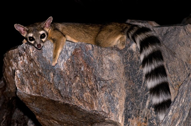 A ring-tailed cat, a type of raccoon and inspiration for Ubuntu Raring Ringtail.