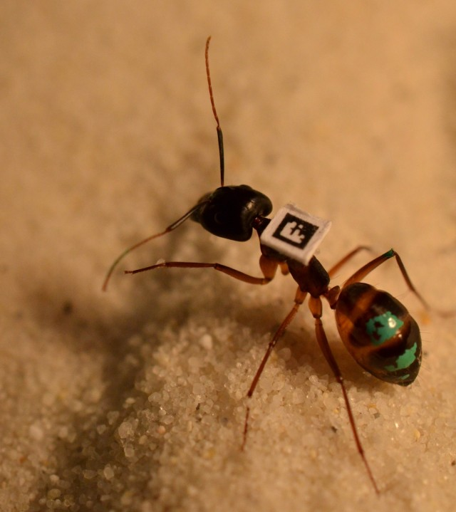 A barcoded ant gets to work.