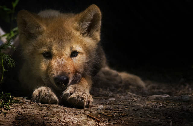 Silent summer: No wolf pup yips heard on Isle Royale