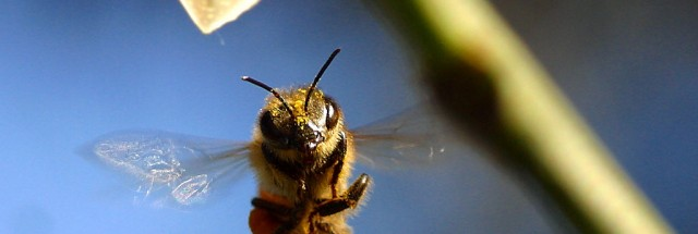 Feeding Bees Corn Syrup May Leave Them Vulnerable To