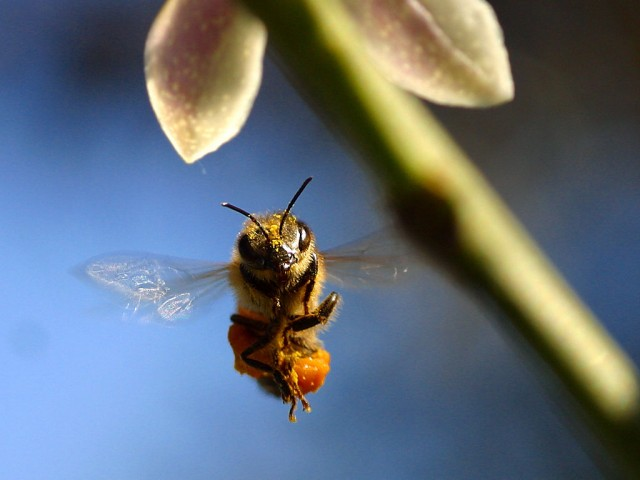 When incorporated into honey, the pollen covering this bee may help protect the bee from environmental insults.