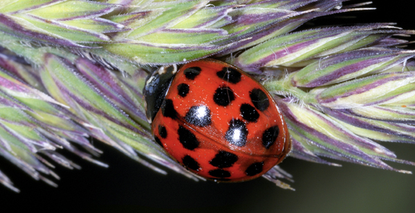 Hostile invader: Ladybug species carries spores that kill competitors
