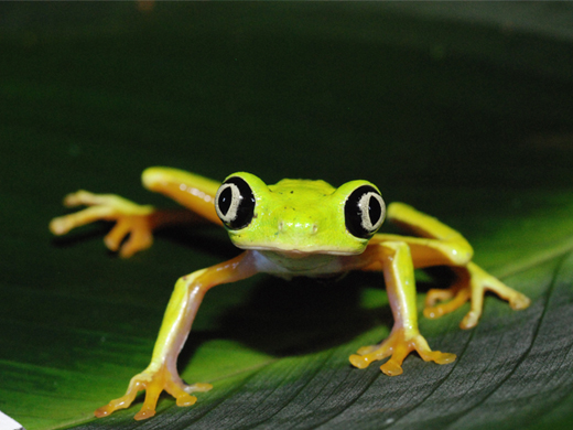 The rise of a frog-killing fungus pinned in part on global trade