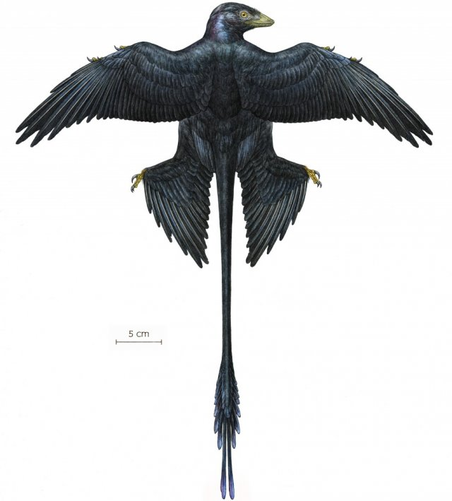 Illustration of Microraptor, which is thought to have had iridescent feathers.