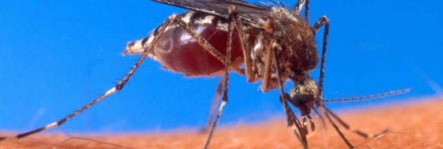 We Now Know Why Mosquitoes Find Malaria Victims so Tasty
