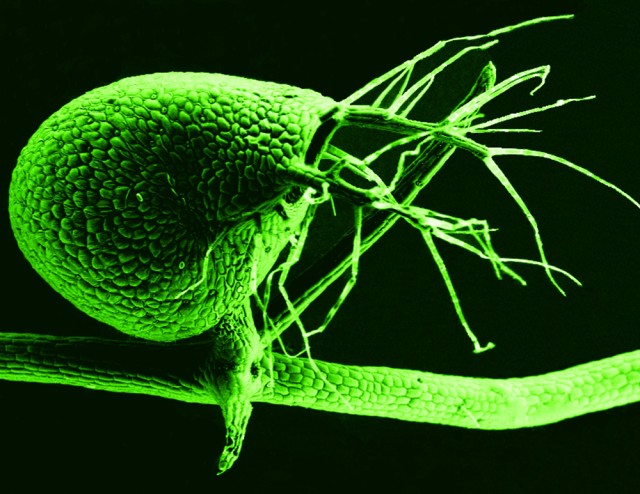 The business end of a bladderwort, ready to suck in prey.