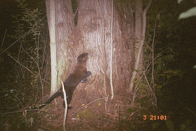 A fisher in the woods at night.