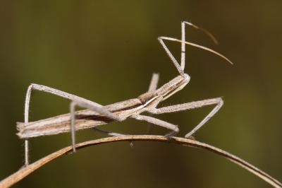 This assassin bug wasn't even known to be present in Spain until some people snapped photographs of it.