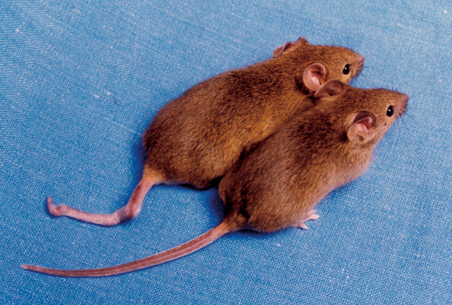 Gene therapy: not just for mice.