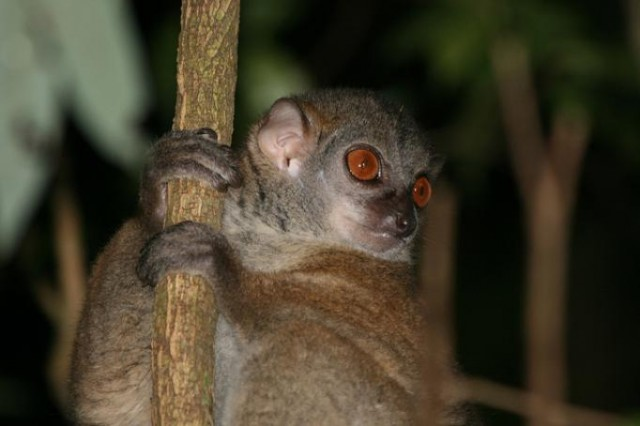 Lonely lemurs listen to, understand other species' warning calls