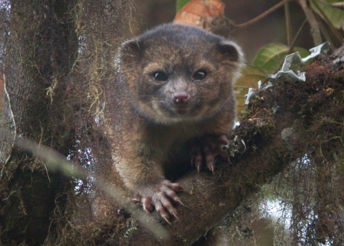 New species is first carnivore found in the Americas in 35 years