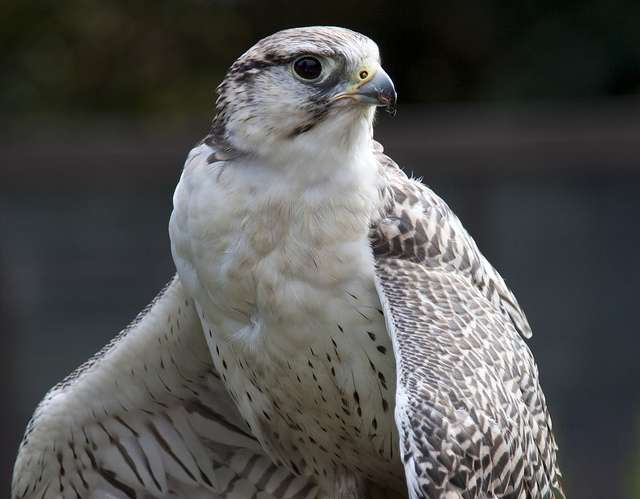 This noble falcon yearns to become a hunter of drones.