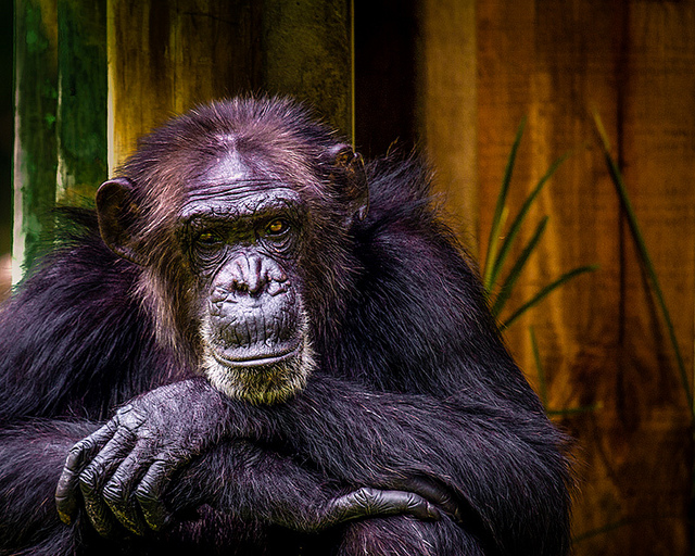 Why are apes more genetically diverse than we are?