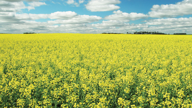 Canola plants, which have trouble keeping their genes in check.