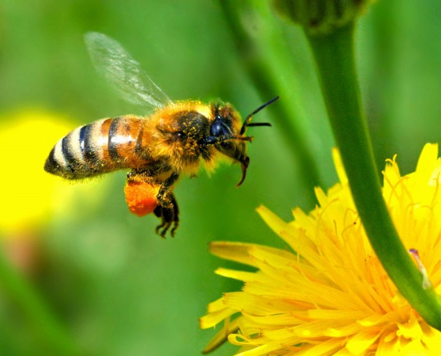 An insecticide-infection connection in bee colony collapses