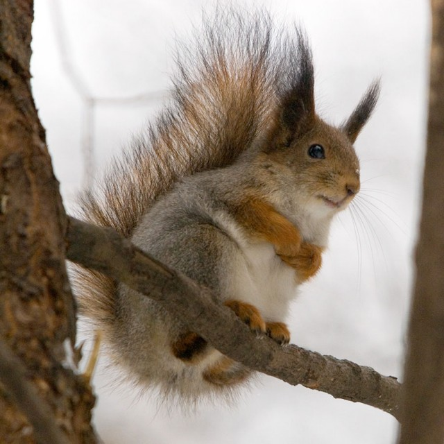 The introduction of the eastern gray squirrel from North America is blamed for devastating the red squirrel population in the UK.