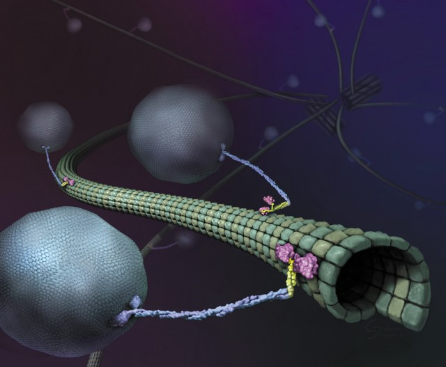 Artist's view of kinesin dragging cargo down a microtubule.