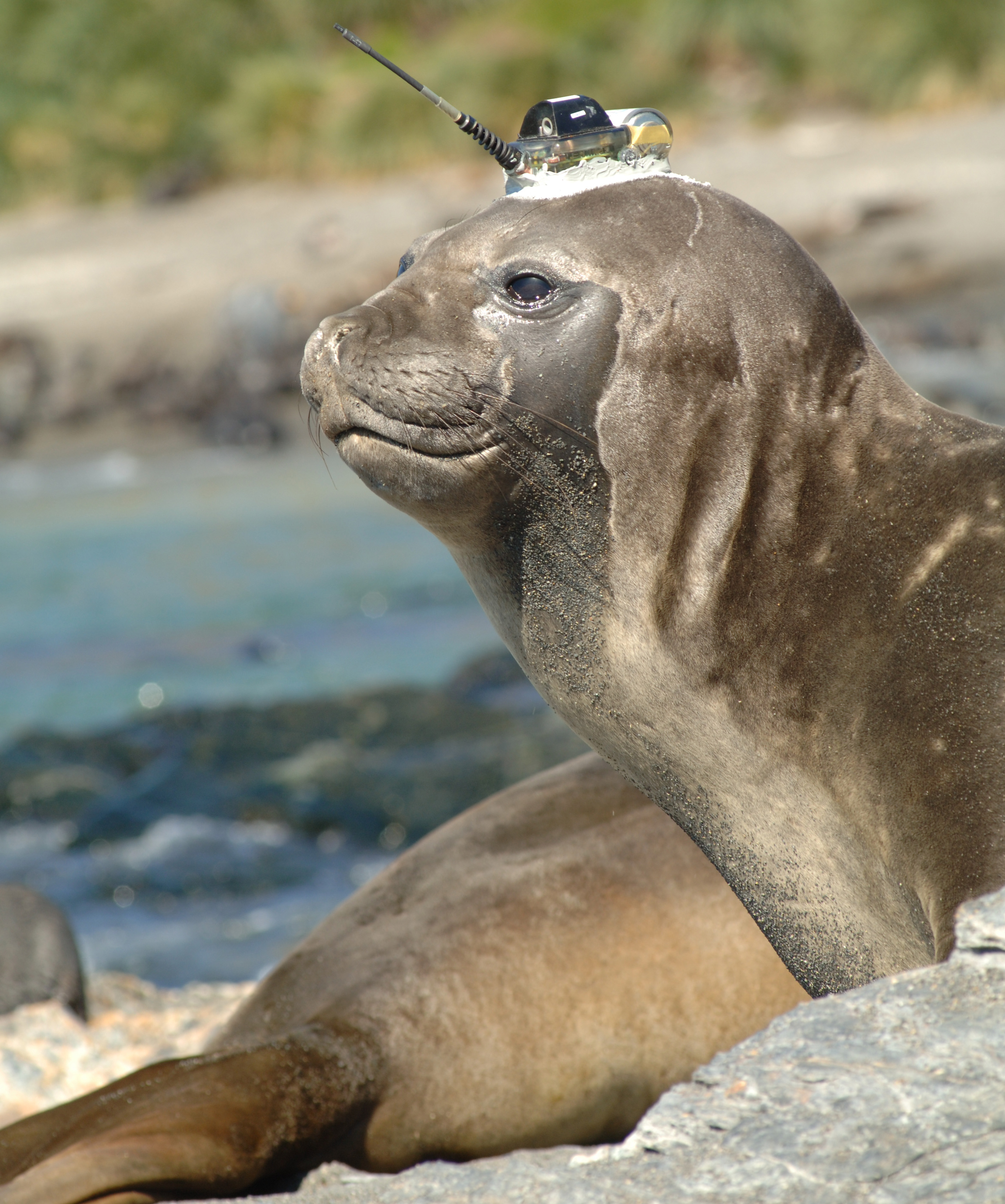 Elephant seal carrying a CTD unit.