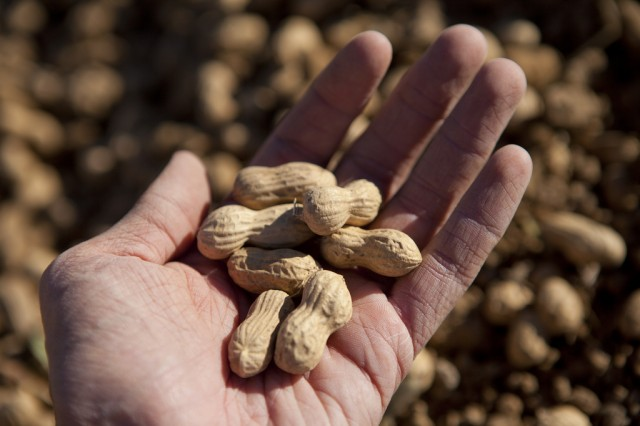 Six-month treatment limits problems with peanut allergies